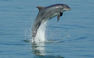 Dolphin Cardigan Bay