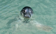 Seals in Cardigan Bay